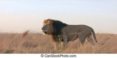 lion, sauvage