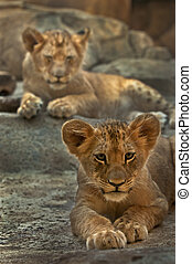 Lion Siblings - Two four month old lions lying on the rocks