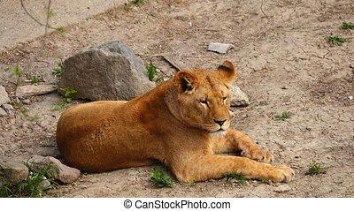 lion, sien, habitat, femme