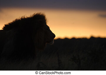 Lion Silhouette Watching the Sky