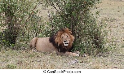 Lion sitting in the shade of a tree