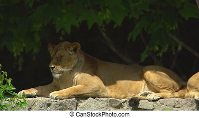 Lion sleeping or resting with closed eyes on the rocks in the zoo. Enjoy shadows from trees.