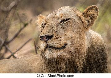 Lion smiling in the Kruger National Park.
