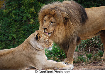 lion, soins personnels, lionne