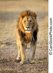 Lion standing, looking at camera