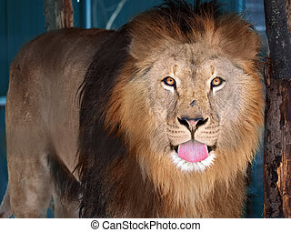 Lion standing shows his pink tongue