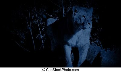 Lion Stands Alert In Jungle At Nigh
