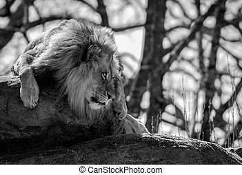 Lion Stares Right With Copy Space