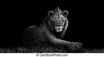 Lion - Wild lion resting in the grass