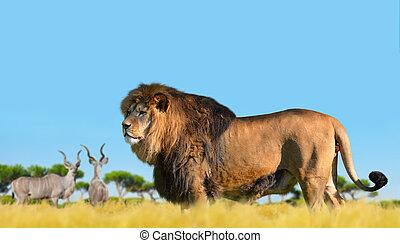 lion, sur, les, savane