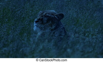 Lion Turns Around In Swaying Grass At Dusk