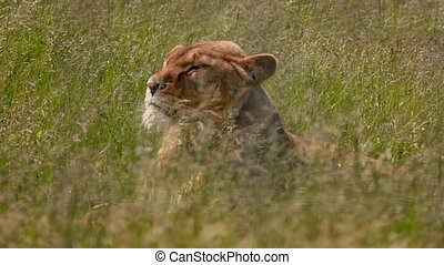 Lion Turns Around In Swaying Long Grass