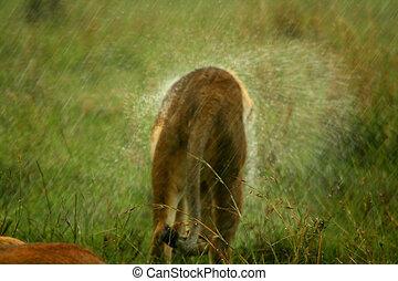 Lion under the rain. Africa. Kenya. Masai Mara
