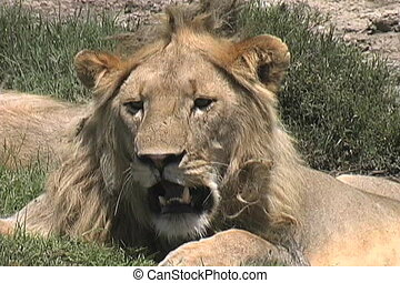 Lion resting in the heat of the day on the Serengeti...