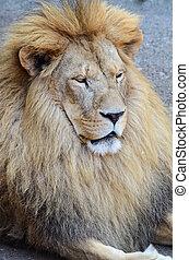 lion, vieux