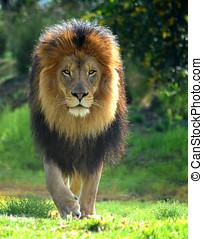 Lion Walk - A male lion named Izu strolls cautiously across...