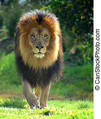Lion Walk - A male lion named Izu strolls cautiously across...
