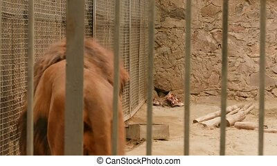 Lion Walking around in a Zoo Enclosure
