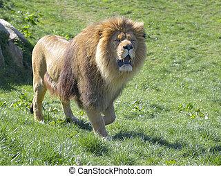 Lion walking on grass