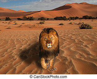 Lion walking on the desert at the sunset great king of the animals