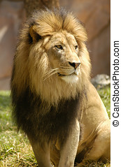 Lion Watching Pride - A large dominant male lion watching...