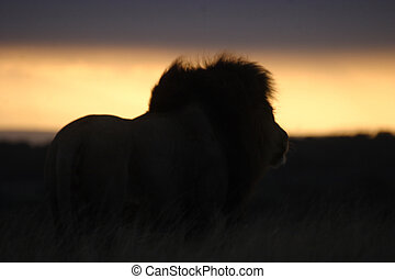 Lion Watching the Sunset