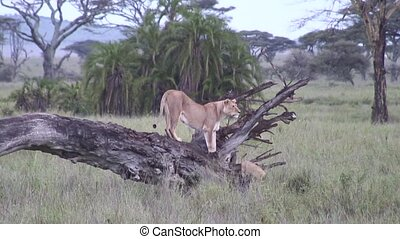 Lion wild dangerous mammal africa - Africa safari wild life...