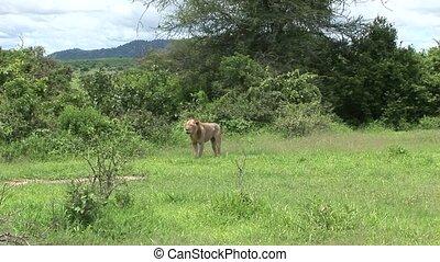 Lion wild dangerous mammal africa s - Africa safari wild...