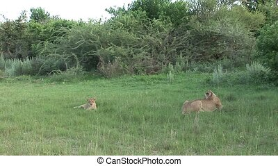 Lion wild dangerous mammal africa savannah Kenya - Africa...