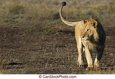 Wild lion in the Tanzanian Serengetti