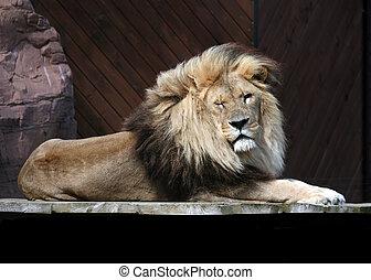 lion winking - winking lion resting