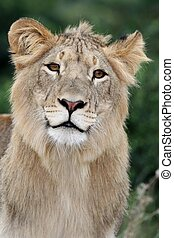 Lion with Beautiful Eyes