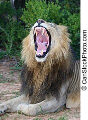 Magnificent male lion showing it's pink mouth and tongue and huge teeth