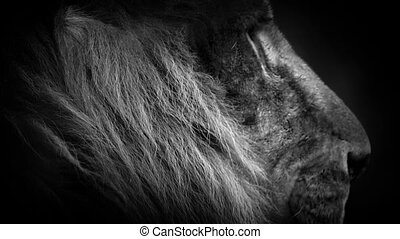 Lion With Orange Eyes Abstract - Lioness in moonlight with...