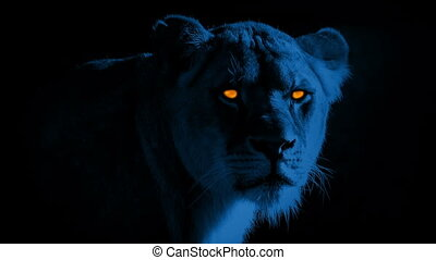 Lion With Scary Glowing Eyes At Night - Female lion in...