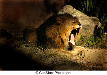 Lion Yawn - A sleepy lion yawing near his den.