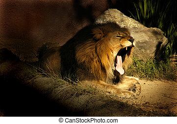Lion Yawn - A sleepy lion yawing near his den.