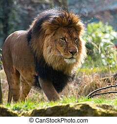 Close-up of big male African lion on black background