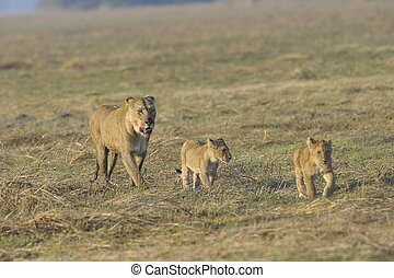 Lioness after hunting with cubs.