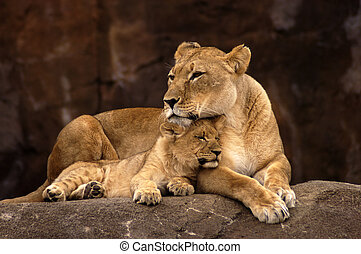 Lioness and Cub - Lioness cub snuggling