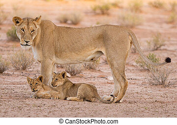 Lioness and cubs play in the Kalahari on sand as a family