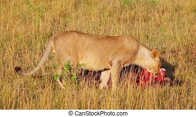 Lioness approaches killed wildebees