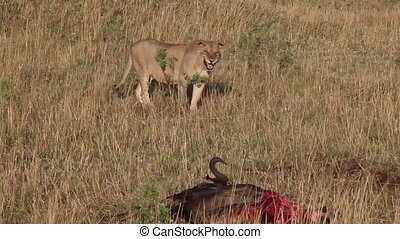 Lioness approaches killed wildebeest
