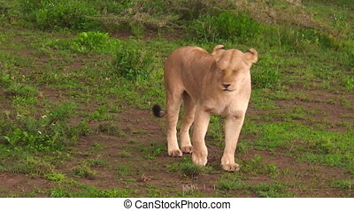 lioness close up - close up of one lioness walking in the...