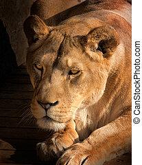 Lioness detail face