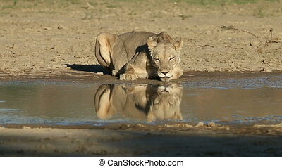 Lioness drinking water - A lioness (Panthera leo) drinking...