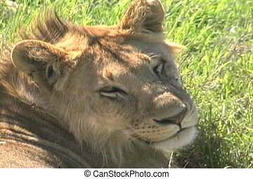 Female lion with flies on her face after eating