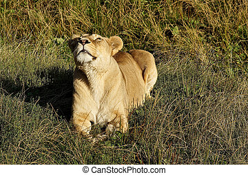 Lioness growling in the morning sun