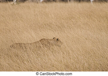 Lioness Hunting - Camouflaged lioness hiding in grass on the...