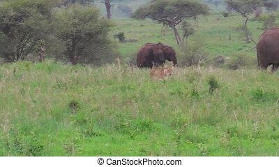 lioness hunting elephants